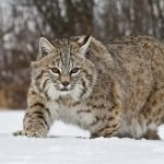 5-Bob-Cat-in-winter