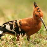Hoopoe-with-a-meal
