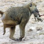 Olive-Baboon-takes-a-hare-and-does-not-intend-to-share-with_